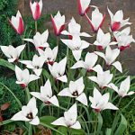 Peppermintstick Species Tulip – 10 bulbs