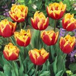 Double Focus Double Late Tulip – 10 bulbs