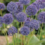 Caeruleum Allium – 5 bulbs