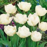 Mondial Double Early Tulip – 10 bulbs