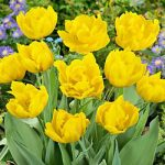 Monte Carlo Double Early Tulip – 10 bulbs