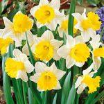 Goblet Trumpet Daffodil – 10 bulbs