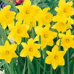 Golden Harvest Trumpet Daffodil – 10 bulbs