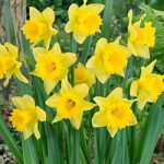 Rijnveld's Early Sensation Trumpet Daffodil – 10 bulbs