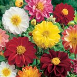 Mixed Anemone Dahlia – 6 root divisions