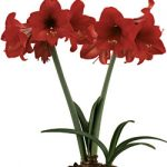 Top Choice® Mini Amaryllis – 1 bulb