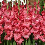 Chit-Chat Gladiolus – 5 bulbs