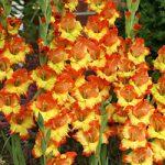 Fiesta Gladiolus – 5 bulbs