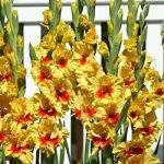 Jester Gladiolus – 5 bulbs