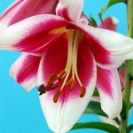 Friso Orienpet Lily – 5 bulbs