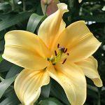 Orania Orienpet Lily – 5 bulbs