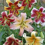 Mixed Orienpet Lilies – 25 bulbs