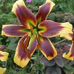 Robert Swanson Orienpet Lily – 5 bulbs