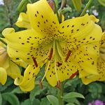 Pearl Jennifer Asiatic Lily – 5 bulbs