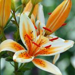 Orange Electric Asiatic Lily – 5 bulbs