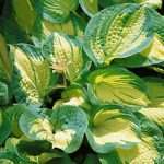 Great Expectations Hosta – 10 root divisions