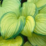 Stained Glass Hosta – 3 root divisions