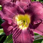 Purple de Oro Daylily – 3 root divisions