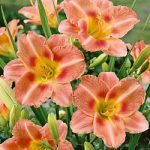 South Seas Daylily – 10 root divisions