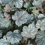 Swirling Fantasy Heuchera – 10 root divisions