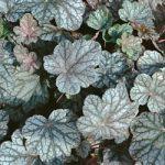 Swirling Fantasy Heuchera – 10 root divisions
