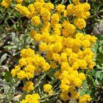 Aurinia saxatilis – 10 root divisions