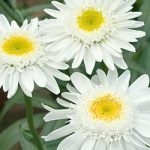 Sunny Side Up Shasta Daisy – 10 root divisions