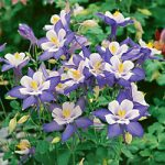 Origami Blue and White Columbine – 10 root divisions