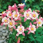 Origami Pink and White Columbine – 10 root divisions