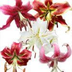 Mixed Species Lilies – 25 bulbs