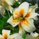 Lady Alice Species Lily – 5 bulbs