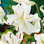 Speciosum Album Lily – 5 bulbs
