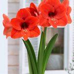 Naranja Regular Amaryllis – 1 bulb