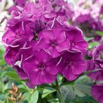Purple Flame Tall Summer Phlox – 3 root divisions
