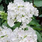 White Flame Tall Summer Phlox – 3 root divisions