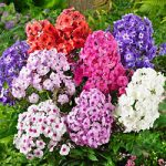 Mixed Tall Summer Phlox – 6 root divisions