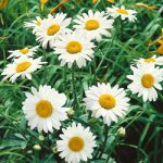 Becky Shasta Daisy – 10 root divisions