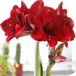 Double Dragon Amaryllis – 1 bulb
