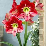 Flamenco Queen Regular Amaryllis – 1 bulb