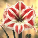 Clown Amaryllis – 1 bulb