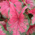 Thomas Tomlinson Fancy Leaved Caladium – 3 tubers