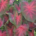Blaze Fancy Leaved Caladium – 3 tubers