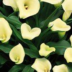 Mint Julep Callafornia Calla® Calla Lily – 3 tubers