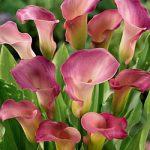 Sweet Talk Callafornia Calla® Calla Lily – 3 tubers