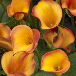 Fire Dancer Callafornia Calla® Calla Lily – 3 tubers
