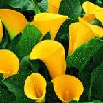 Golden Chalice Callafornia Calla® Calla Lily – 3 tubers
