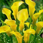 Lemon Drop Callafornia Calla® Calla Lily – 3 tubers