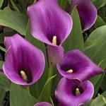 Regal Callafornia Calla® Calla Lily – 3 tubers
