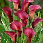 Ruby Sensation Callafornia Calla® Calla Lily – 3 tubers