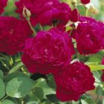 Darcey Bussell David Austin® Rose – 1 bare root plant